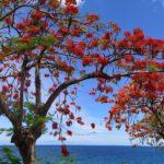 Les flamboyants de la Guadeloupe
